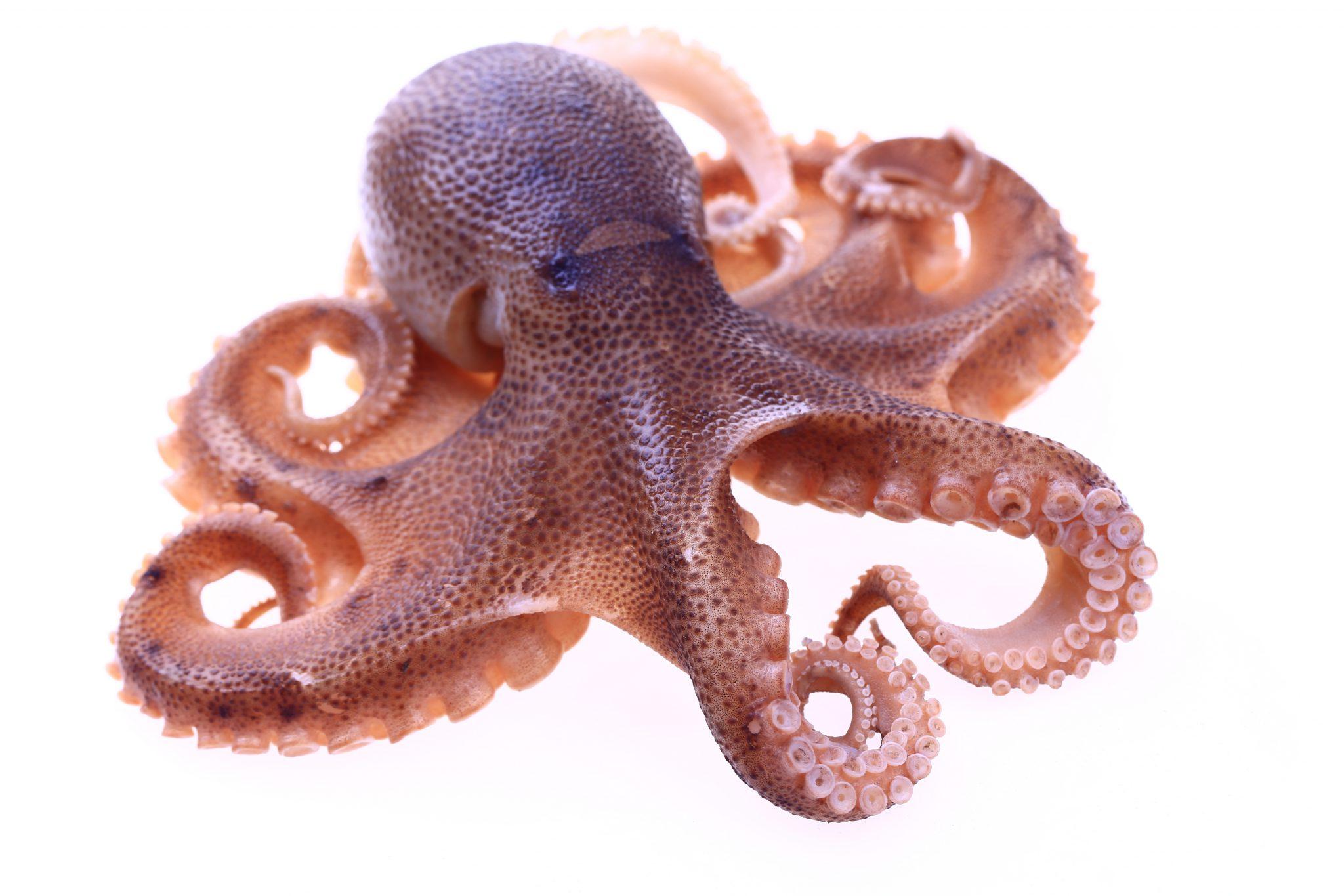 OCTOPUS | octopus vulgaris