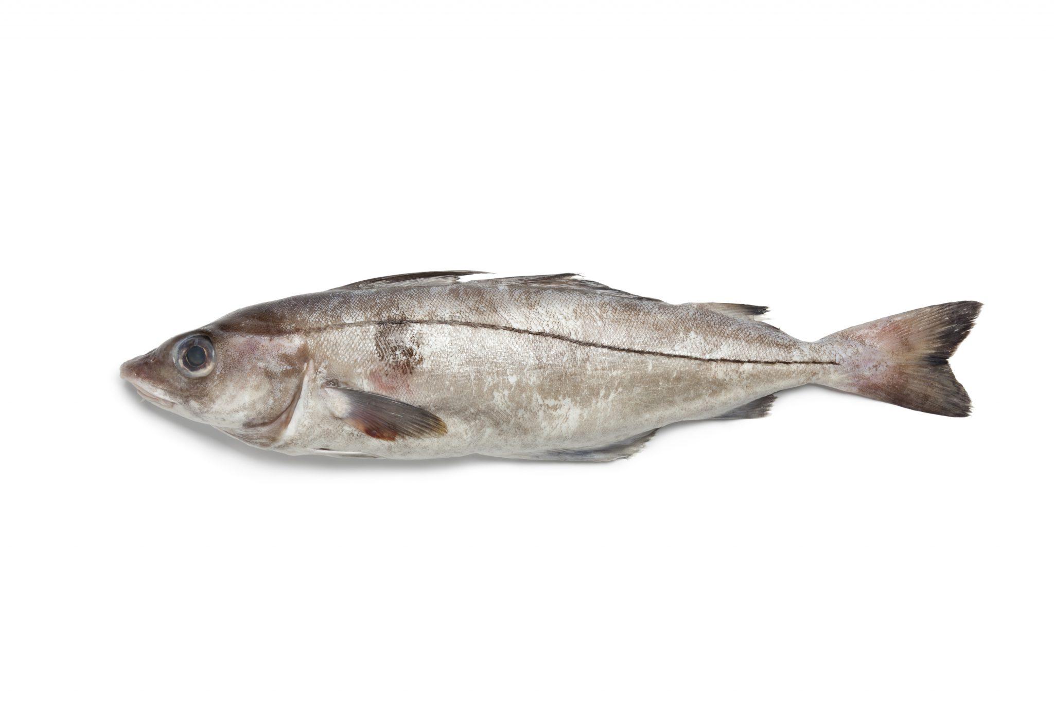 SCHELVIS | melanogrammus aeglefinus