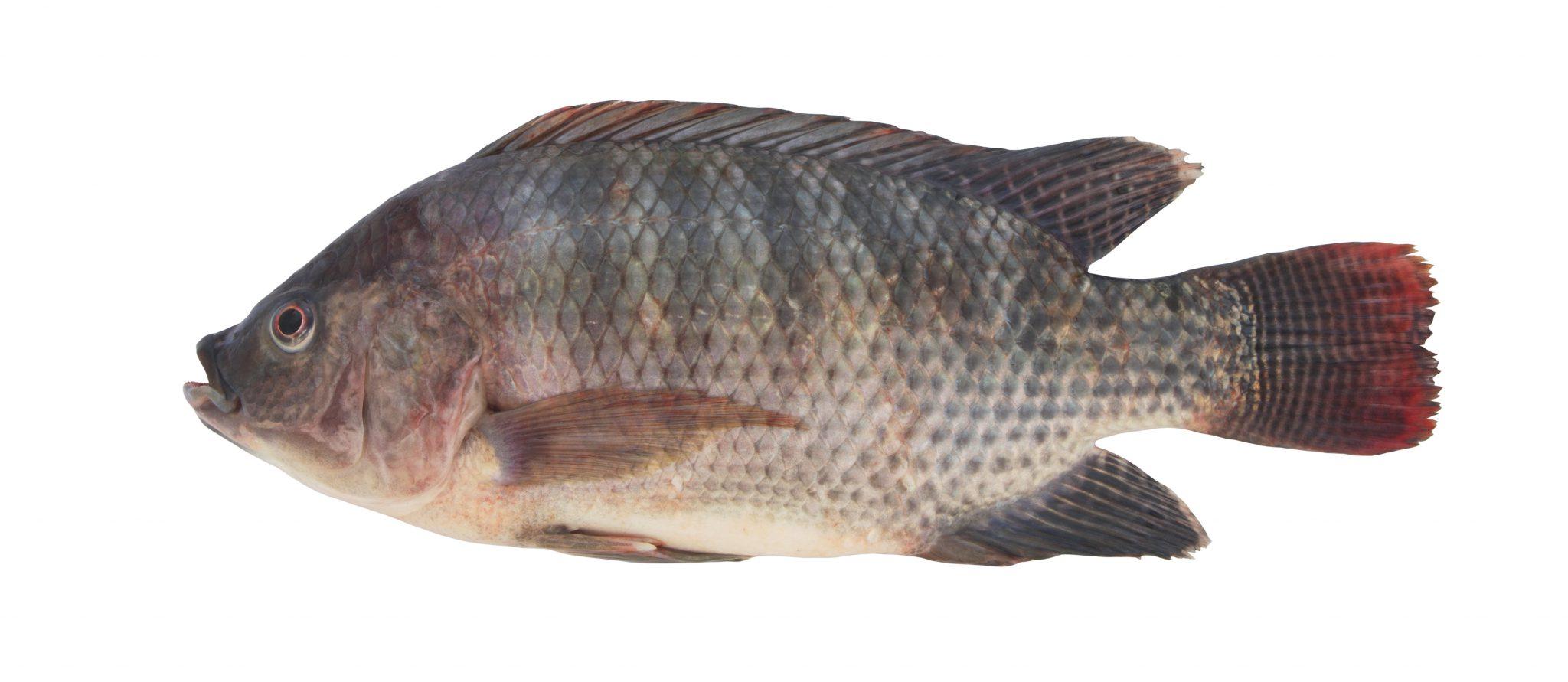 TILAPIA | oreochromis niloticus
