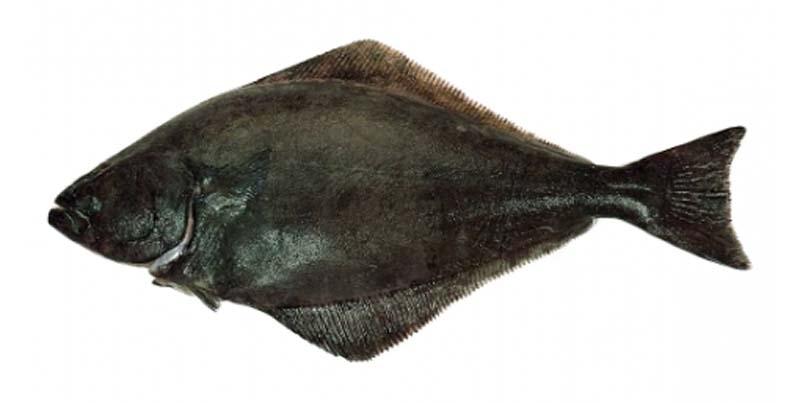 HEILBOT (ZWART OF GROENLANDSE) | reinhardtius hippoglossus