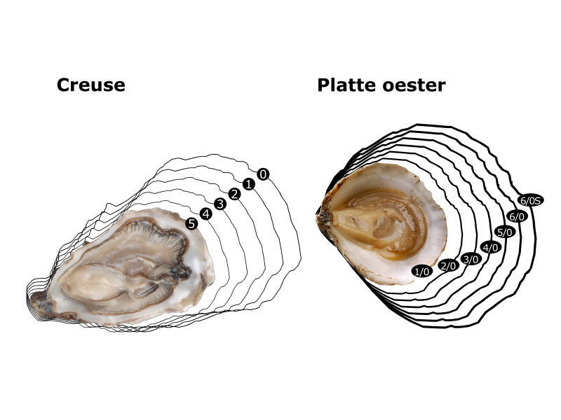 Oesters: sorteringen en classificaties