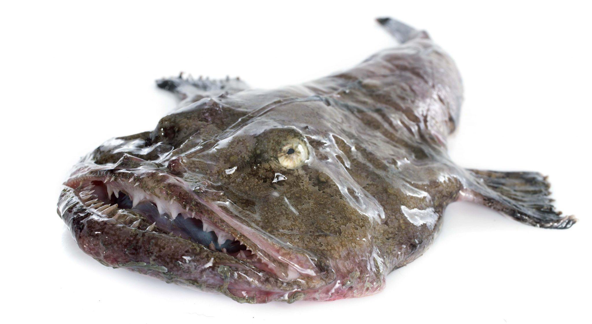 ZEEDUIVEL | lophius piscatorius